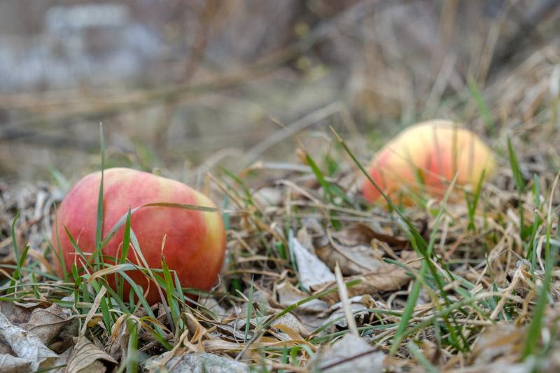 весенние яблоки в весенней траве
