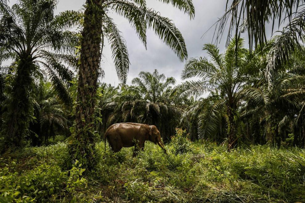 16. В странах Азии и Африки сохранилась древняя ручная технология изготовления пальмового масла