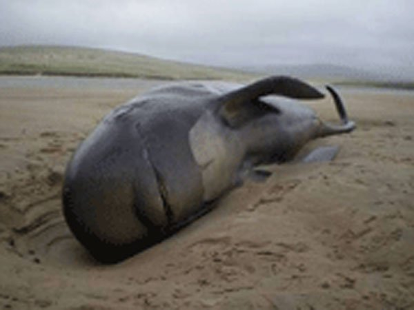 Королевская прерогатива 1324 постановляет, что любой кит или осётр, найденный на британском побережь