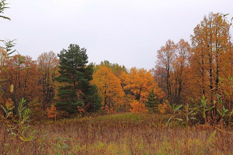 Зелёная ель, пожухлая коричневая трава и осеннее золото листвы лип под Кирово-Чепецком