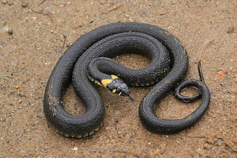 Свернувшийся у клубок уж (Natrix natrix) черного цвета с жёлтыми «ушками» на песчаной дороге показывает раздвоенный язык