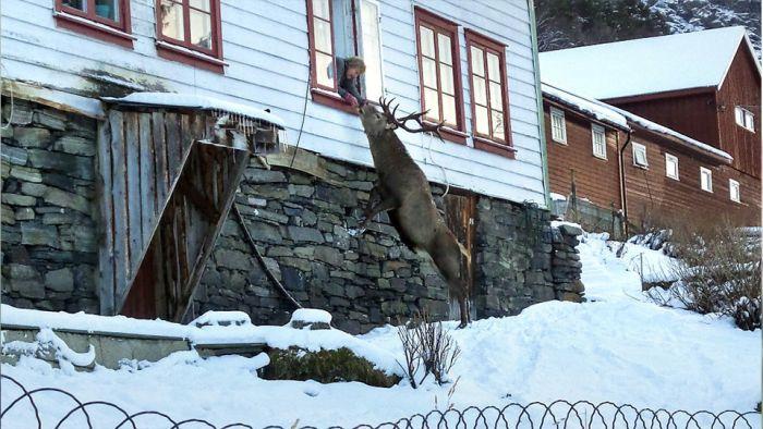 В Норвегии олень ежедневно приходит в гости к своим спасителям