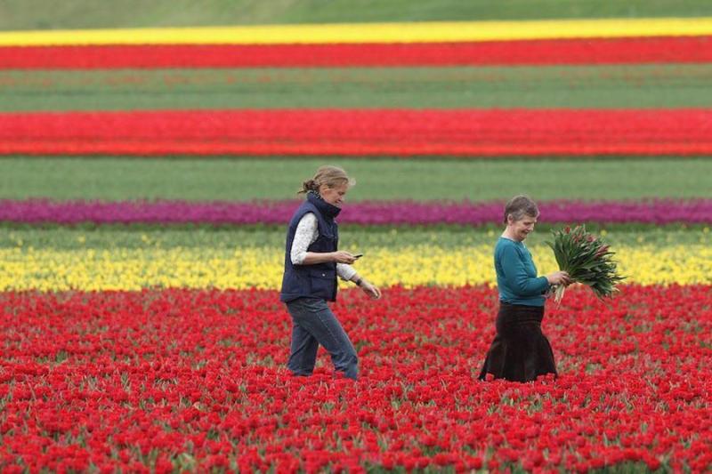 Farmer Christiane Degenhardt (C) and friend Barbara Ulferts gather tulips at Degenhardts tulip field