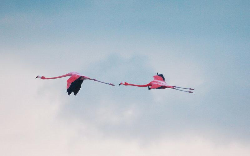 Красные фламинго (Phoenicopterus ruber) в Сьенага де Запата