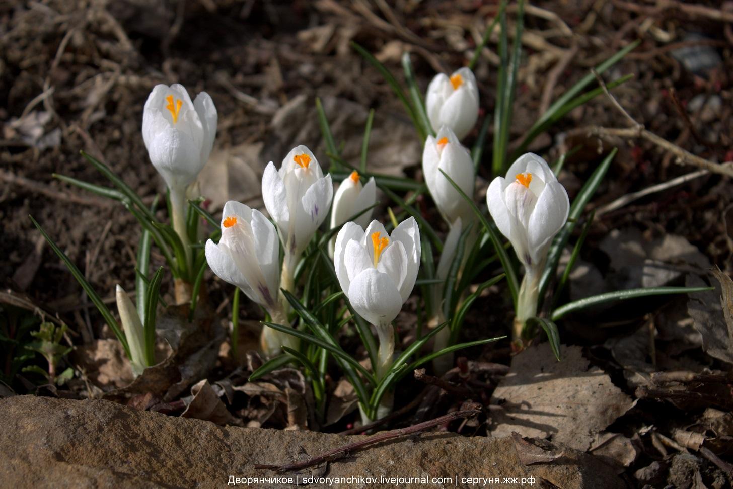 Весна - зацвели крокусы - 29 марта 2017 парк вгс