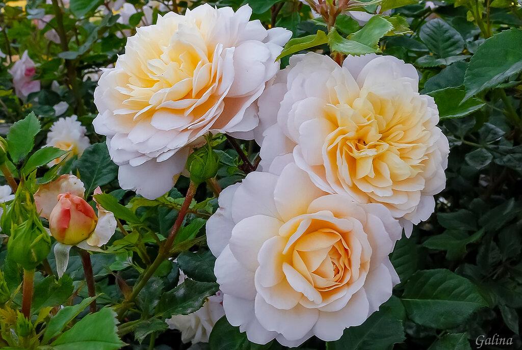 Мы в нежных розах ценим аромат.