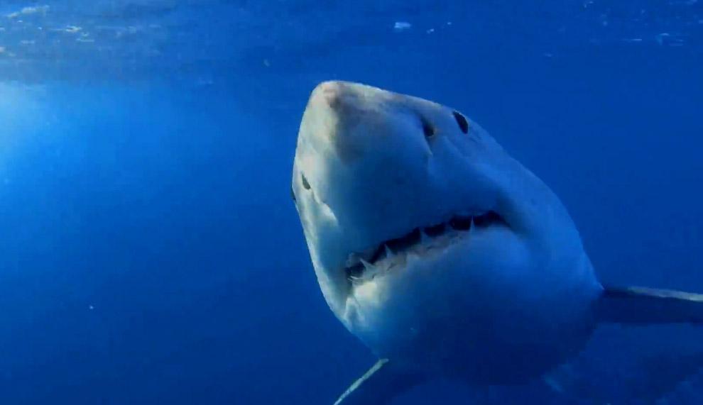 Акулы слушают, улавливая вибрации при помощи рецепторов на теле. Они воспринимают чаще всего ни