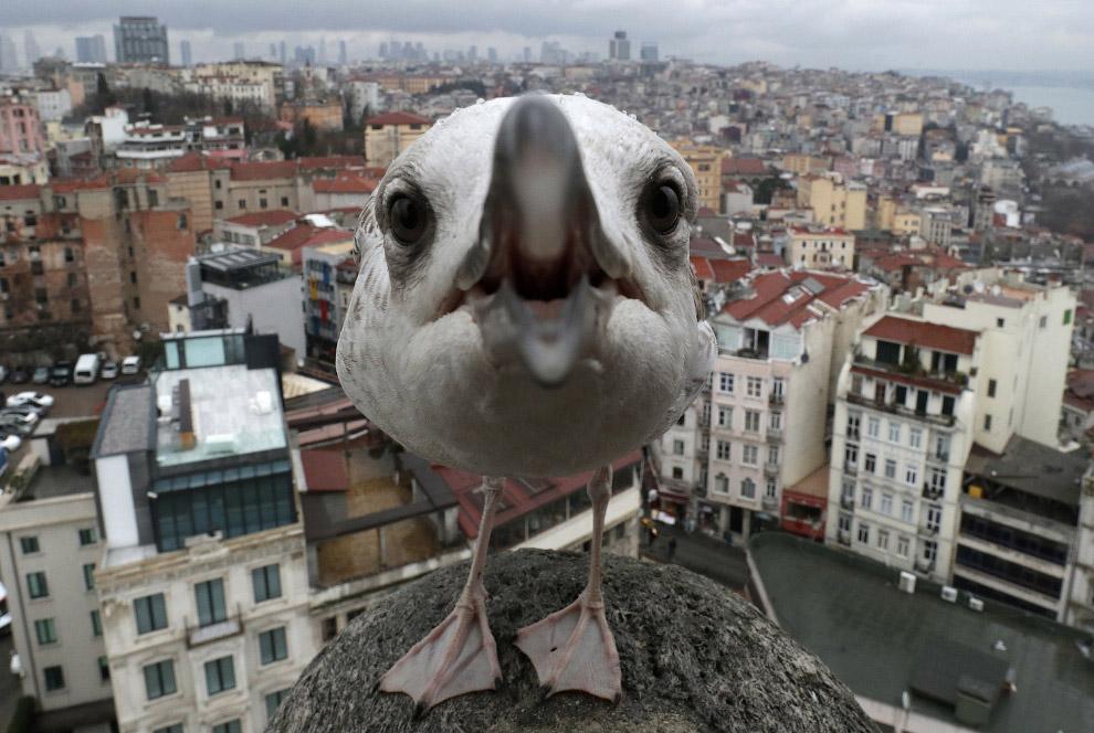 16. А в это время еще более крутая чайка позирует в Риме. (Фото Tiziana Fabi):
