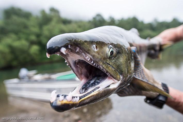 Производство лосося на Камчатке (20 фото)