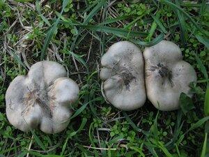 Меланолеука коротконожковая (Melanoleuca brevipes)