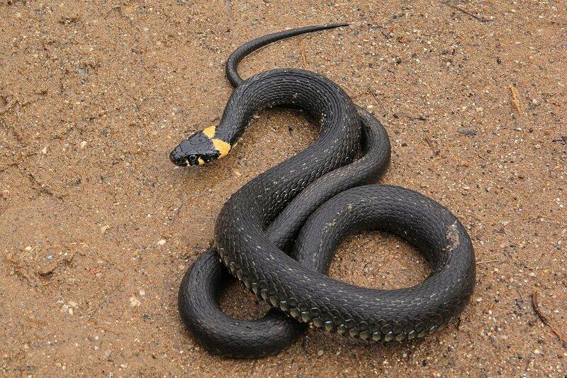 Чёрный ужик (Natrix natrix) с жёлтыми «ушками» на песчаной дороге