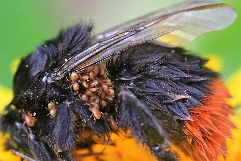 Усталый, еле живой шмель с огромным количеством клещей на спине отдыхает на цветке одуванчика