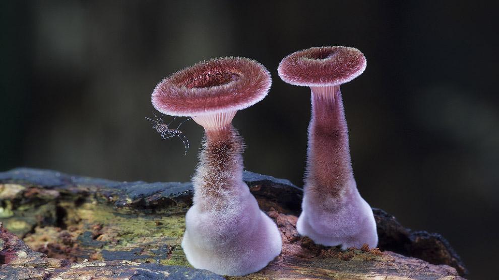 11. Решеточник красный. Очень редкий (с естественно малой численностью) гриб. Занесён в Красную