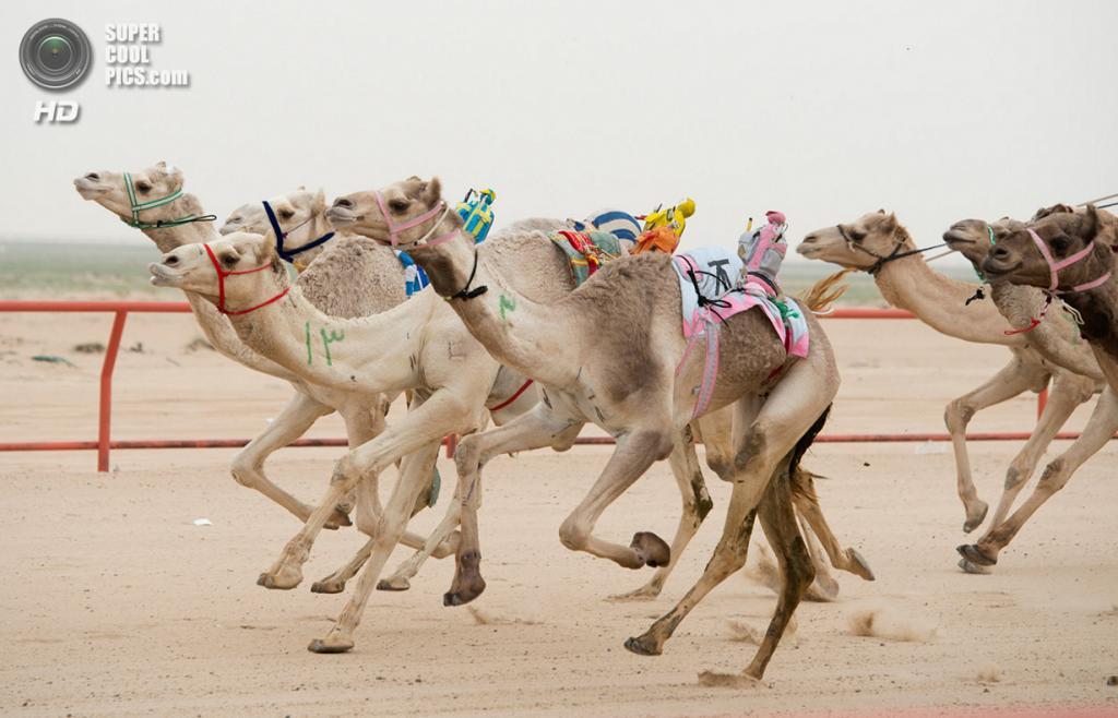 Кувейт. Эль-Кувейт. 26 января. Роботы-жокеи на верблюдах во время еженедельных скачек. (REUTERS/
