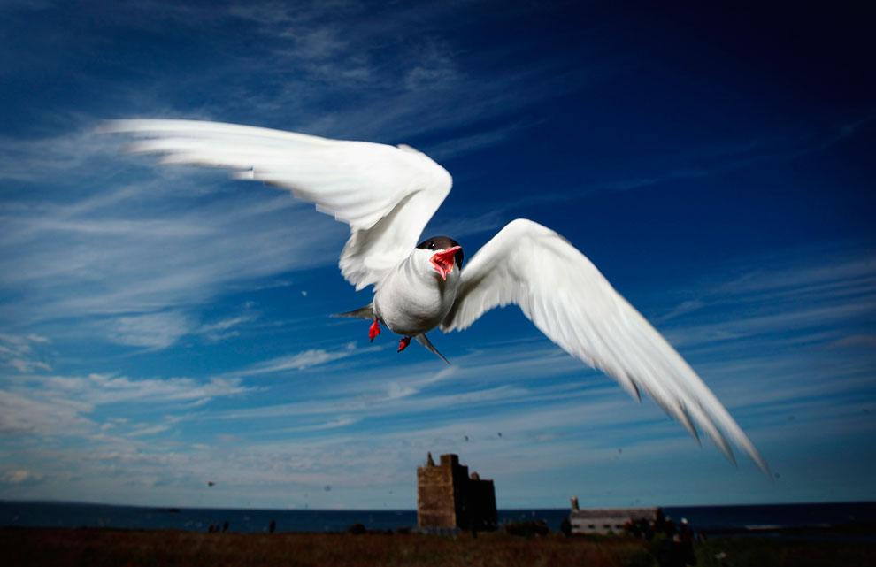 Великолепный тупик. Морская птица с высоким ярко окрашенным клювом и оранжево-красными лапами.