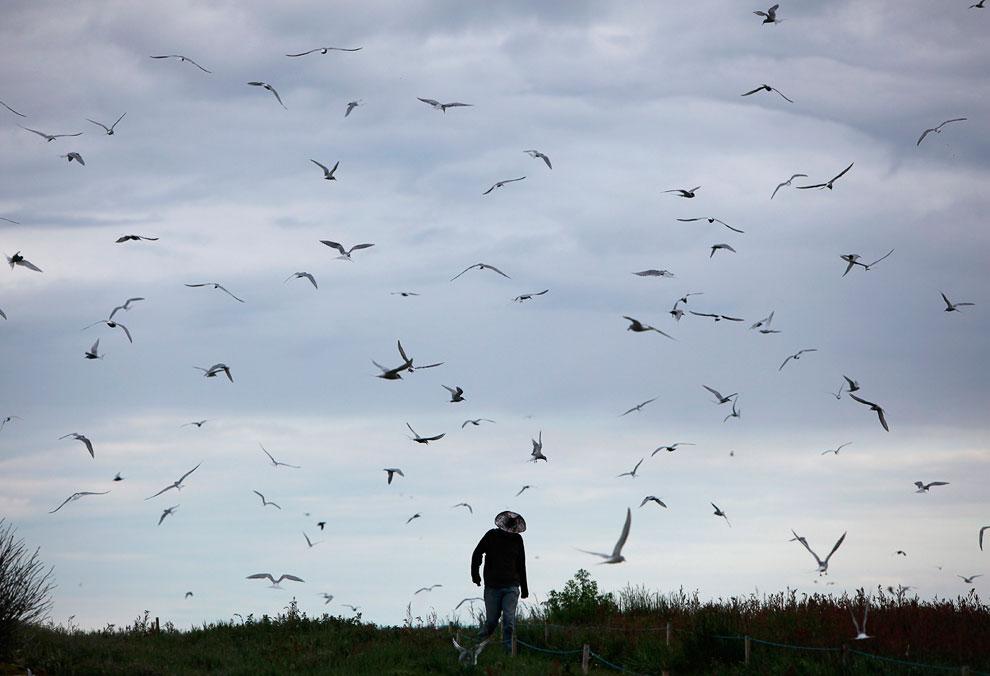Атака крачки. (Фото Dan Kitwood | Getty Images):