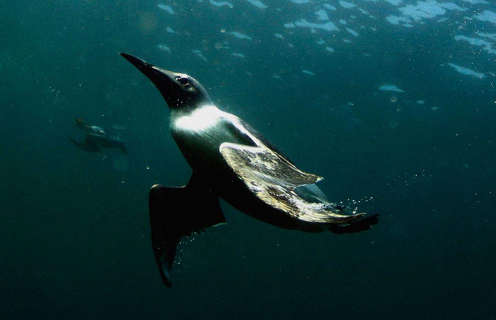 Еще один житель островов Фарн — омар. (Фото Dan Kitwood | Getty Images):
