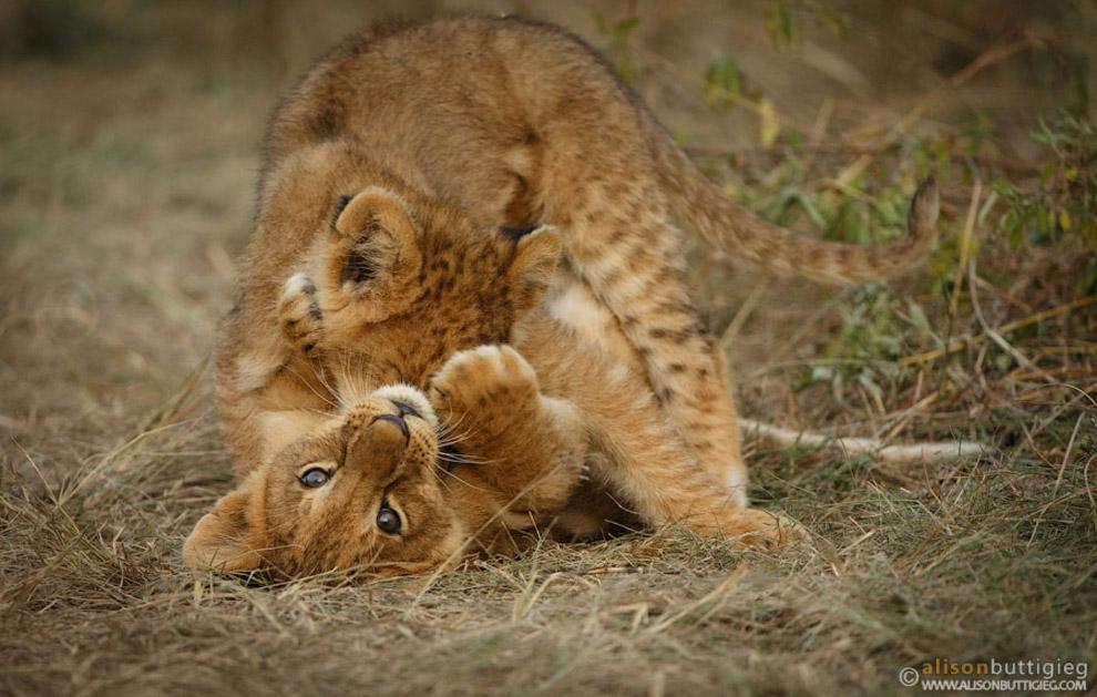 11. Львица со львенком и леопард.