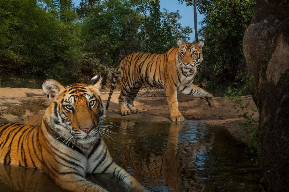 12. Тигр вблизи.