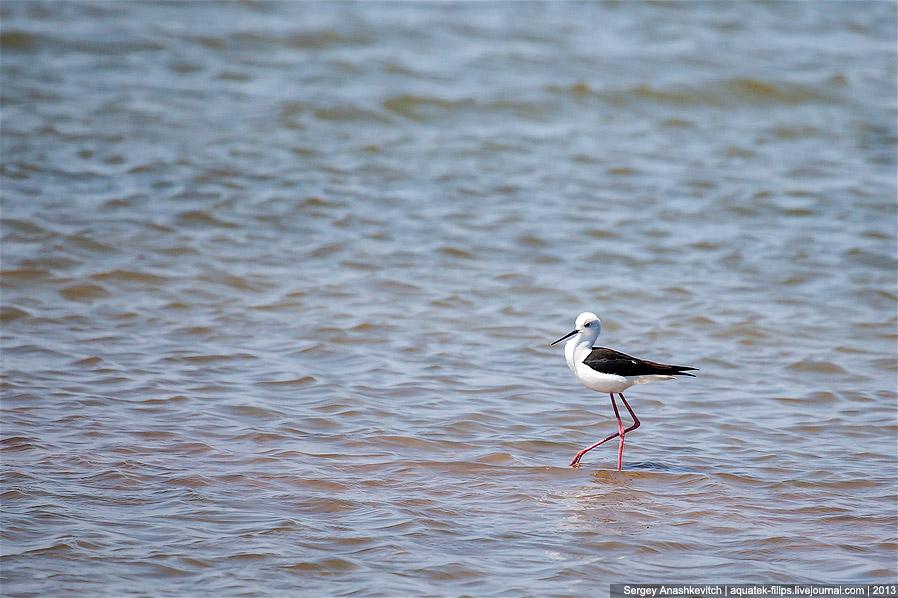 Весной берега Кояшского озера еще не покрыты соляной коркой, и чайки-хохотуньи устраивают здесь