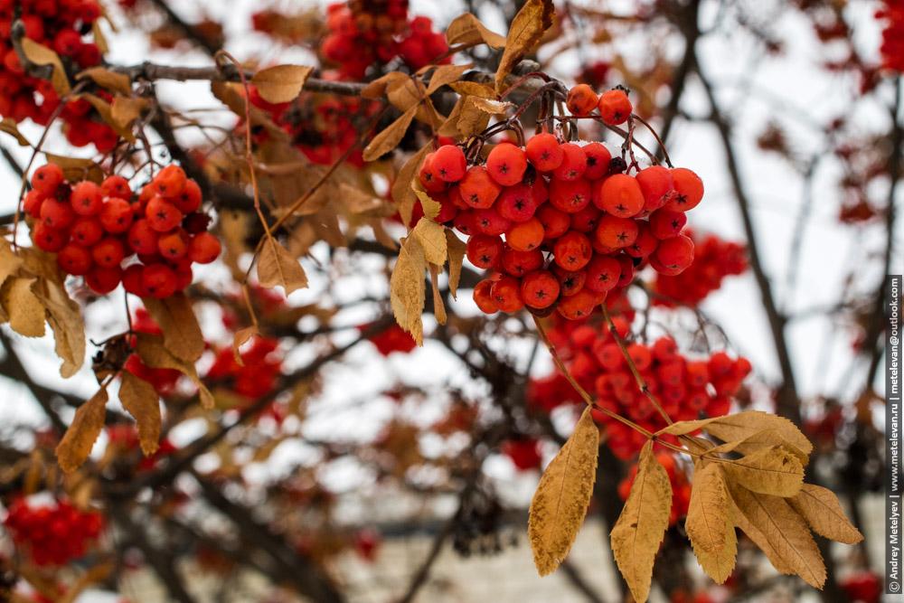 красная рябина на ветках и сухие листья