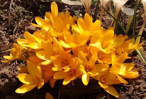 желтые крокусы.jpg