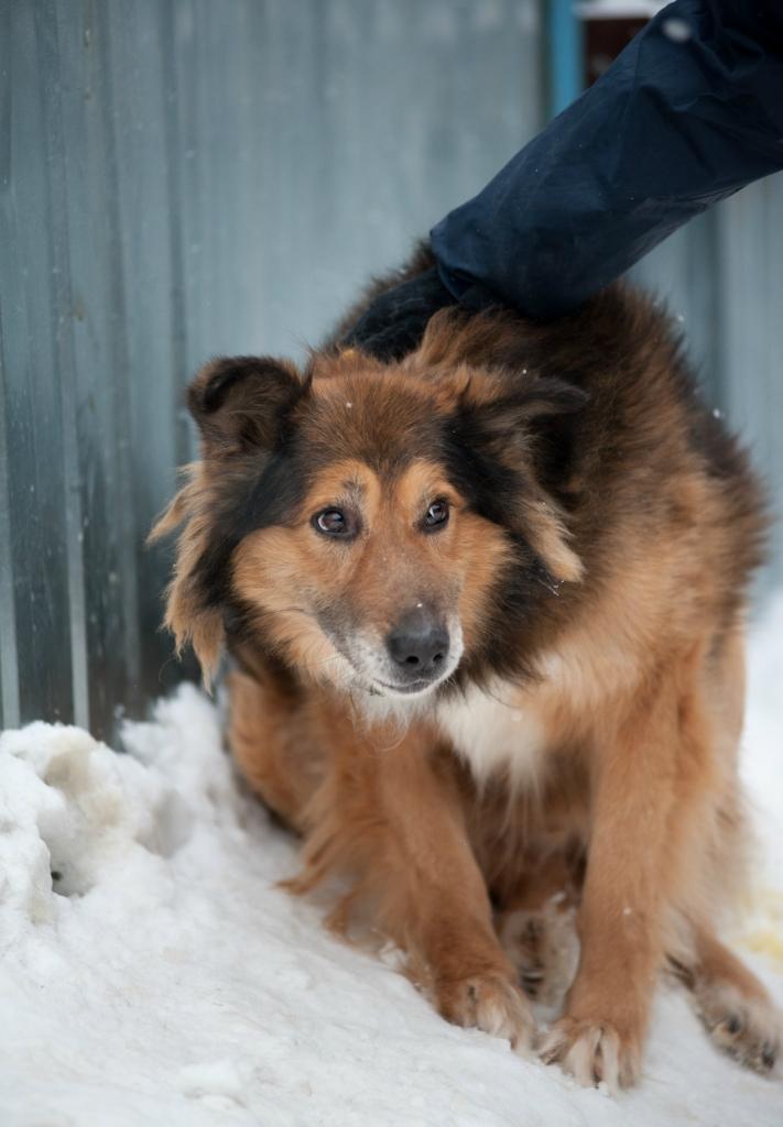 Рыжий Фокс собака из приюта догпорта