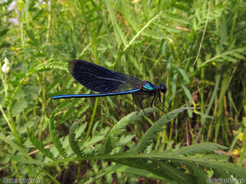 Стрекоза Блестящая красотка ( Calopteryx splendens)