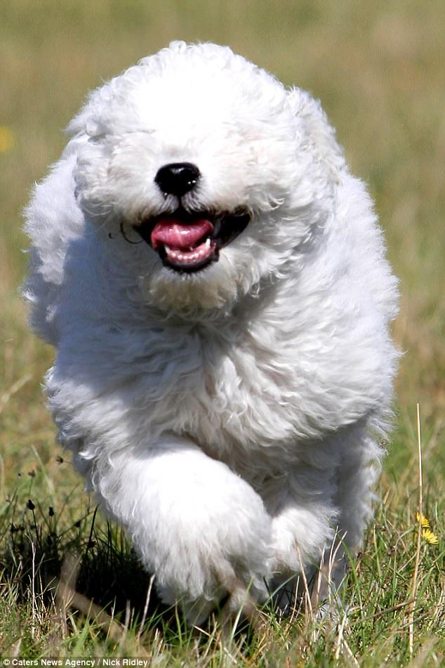 Венгерская пастушья собака пули.