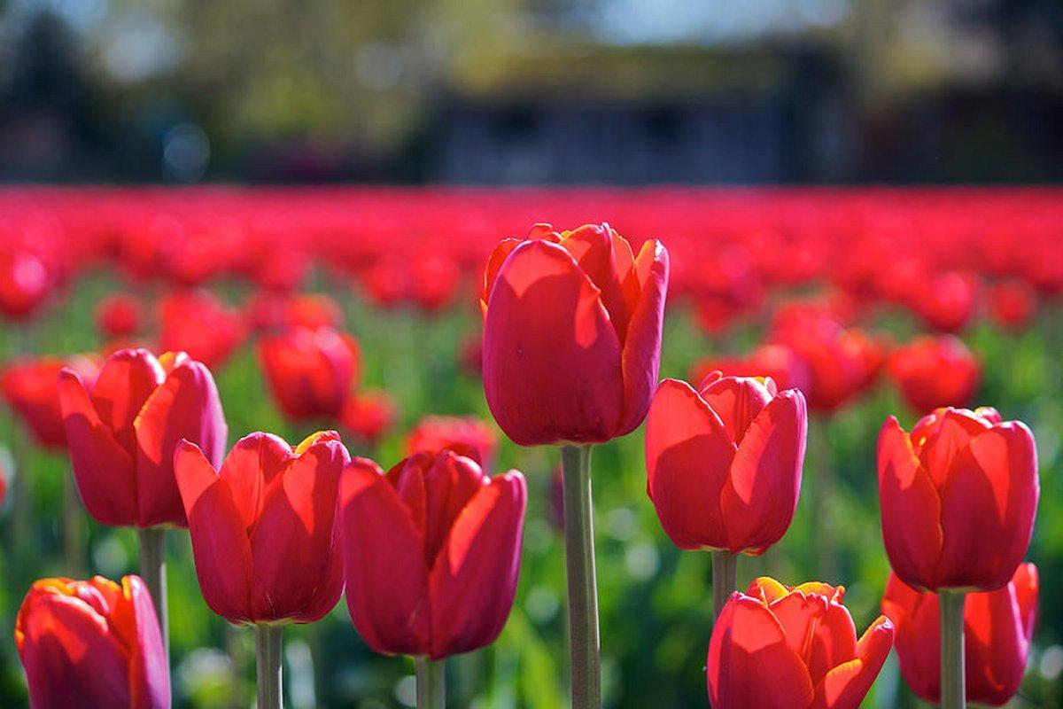 Тюльпаны Red Mark к 8 Марта со скидкой