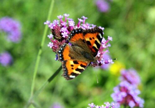 Бабочка на ароматной душице!
