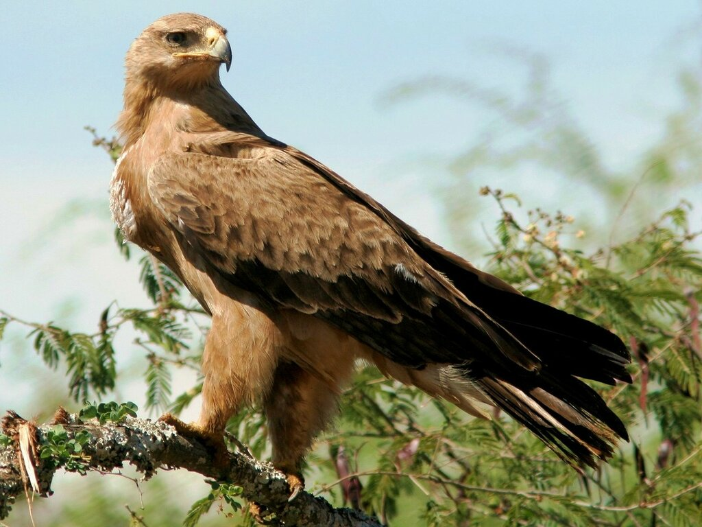 степной орёл.jpg