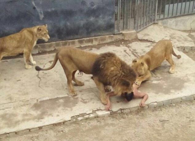 Чтобы спасти парня работникам пришлось застрелить двух львов, самца и самку, которые жили в зоопарке