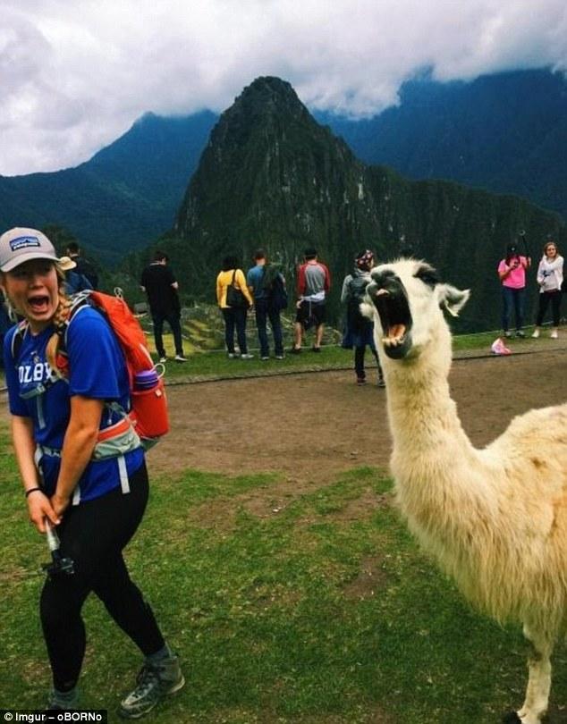 Альпака демонстрирует, как надо фотографироваться на фоне Мачу-Пикчу.