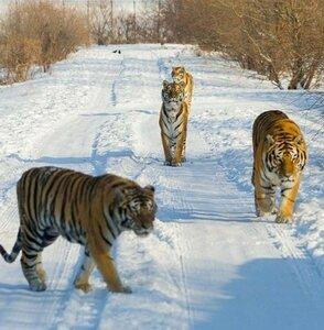 тигры в Приморье.jpg