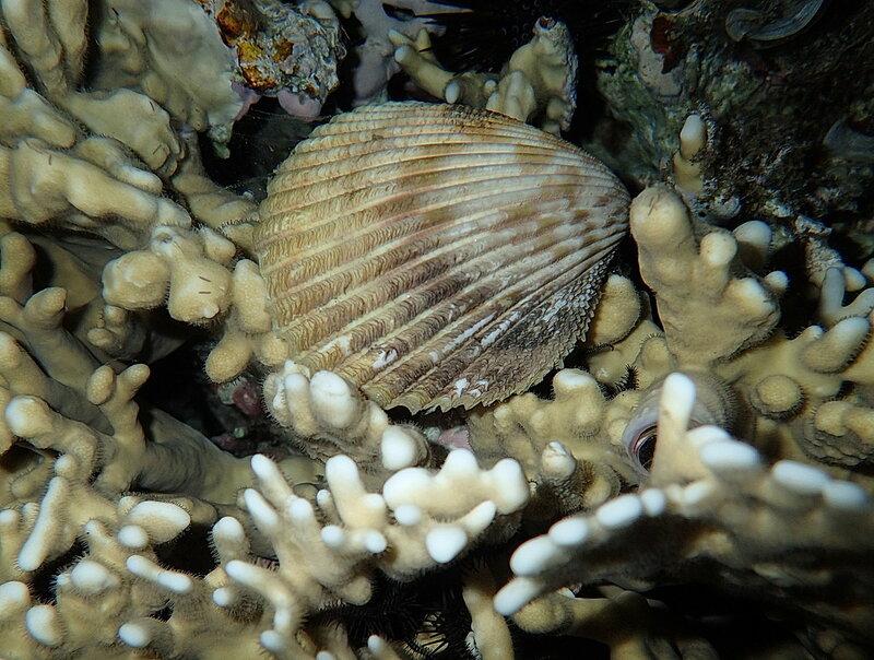 Красноморский вастикардиум (Vasticardium marerubrum), она же  Красноморская большая сердцевидка