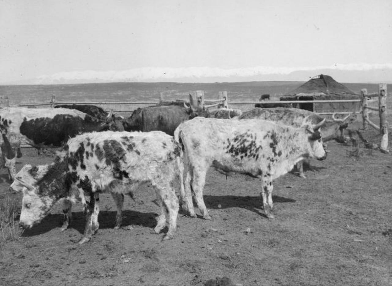 Калмыцкий скот в долине реки Агиас