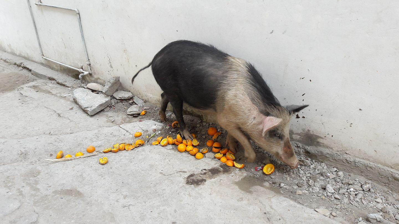 картинка свинья в апельсинах теплице замечаете норки