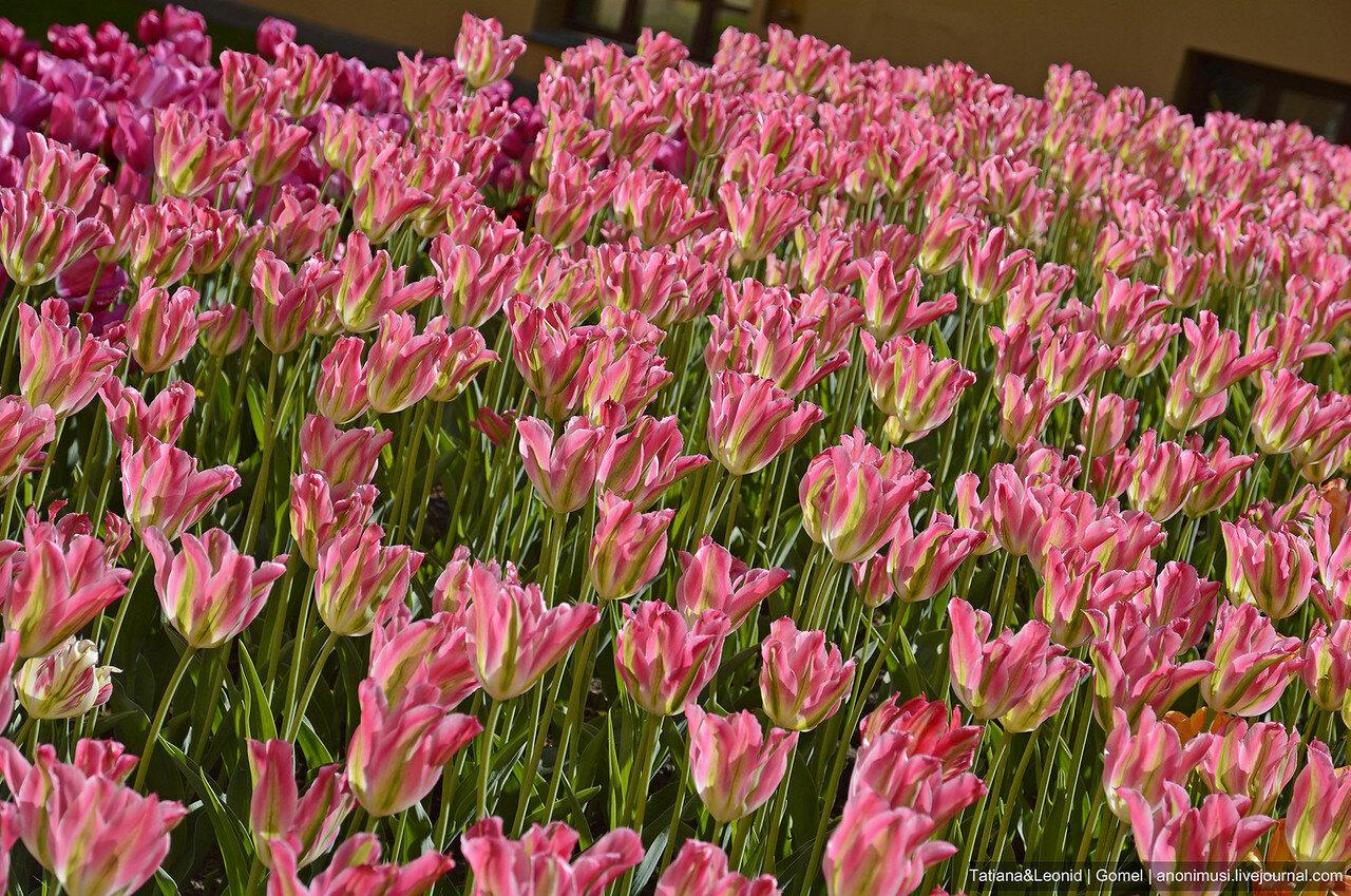 Тюльпаны в Гомельском парке