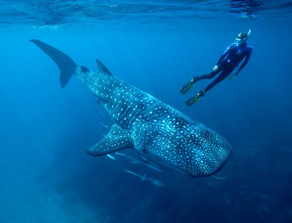 Китовая акула — крупнейшая рыба Земли (размер средней особи — 12-14 метров, крупные достигают 1