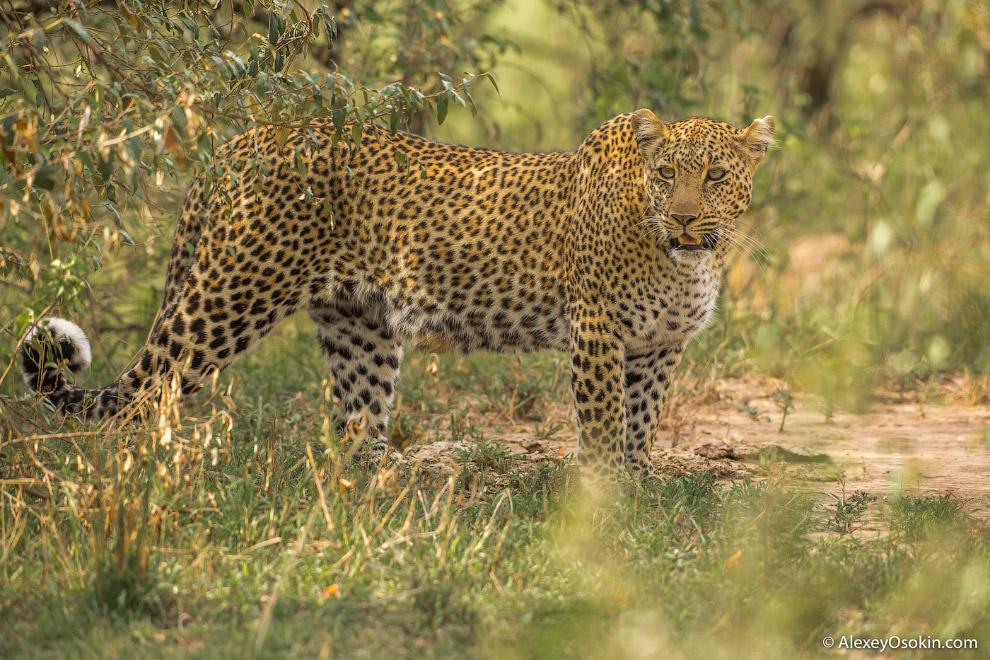 От коллег узнали, что в районе реки Талек видели большую самку леопарда Багати с двумя совсем м