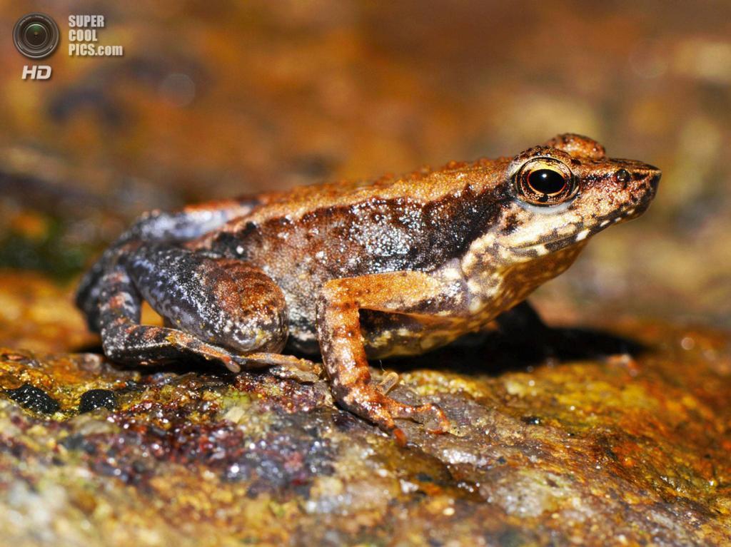 Учёные нашли 14 новых видов «танцующих лягушек»