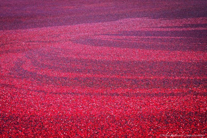 95% всего канадского урожая клюквы приходится на долину реки Фрейзер в Британской Колумбии — это