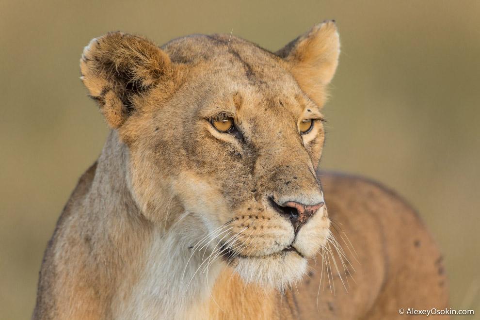 5. Во время брачного периода, который длится около недели, лев и львица покидают прайд. В этот