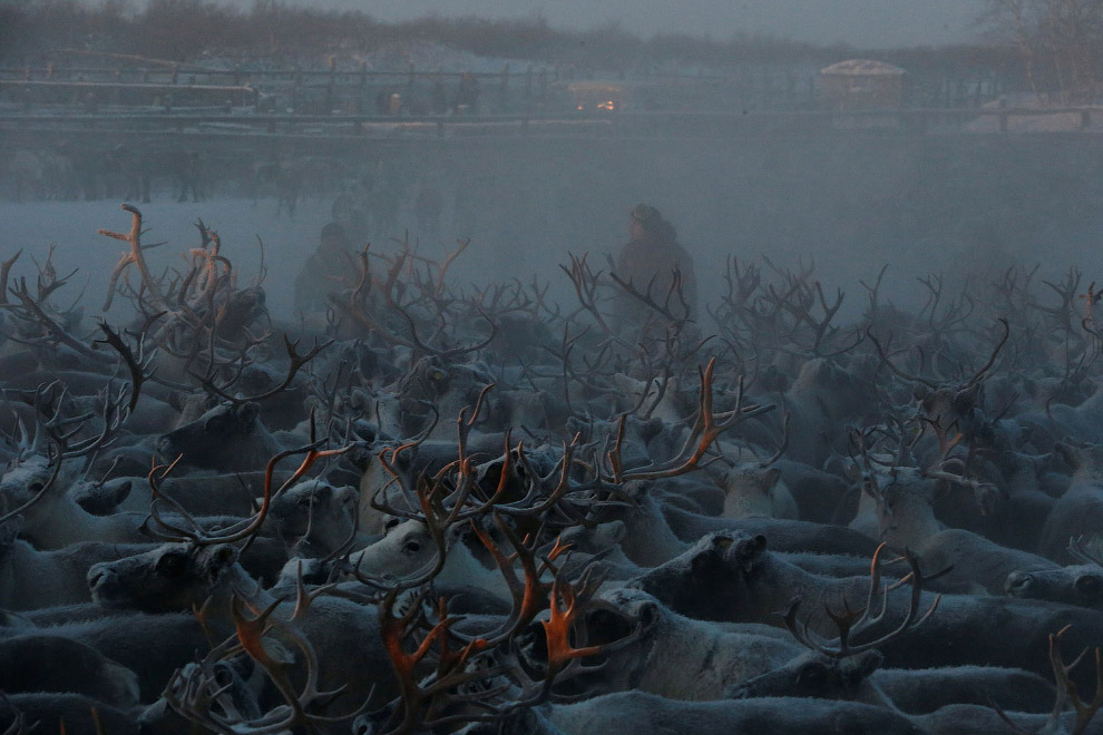 17. Оленевод. (Фото Sergei Karpukhin | Reuters):