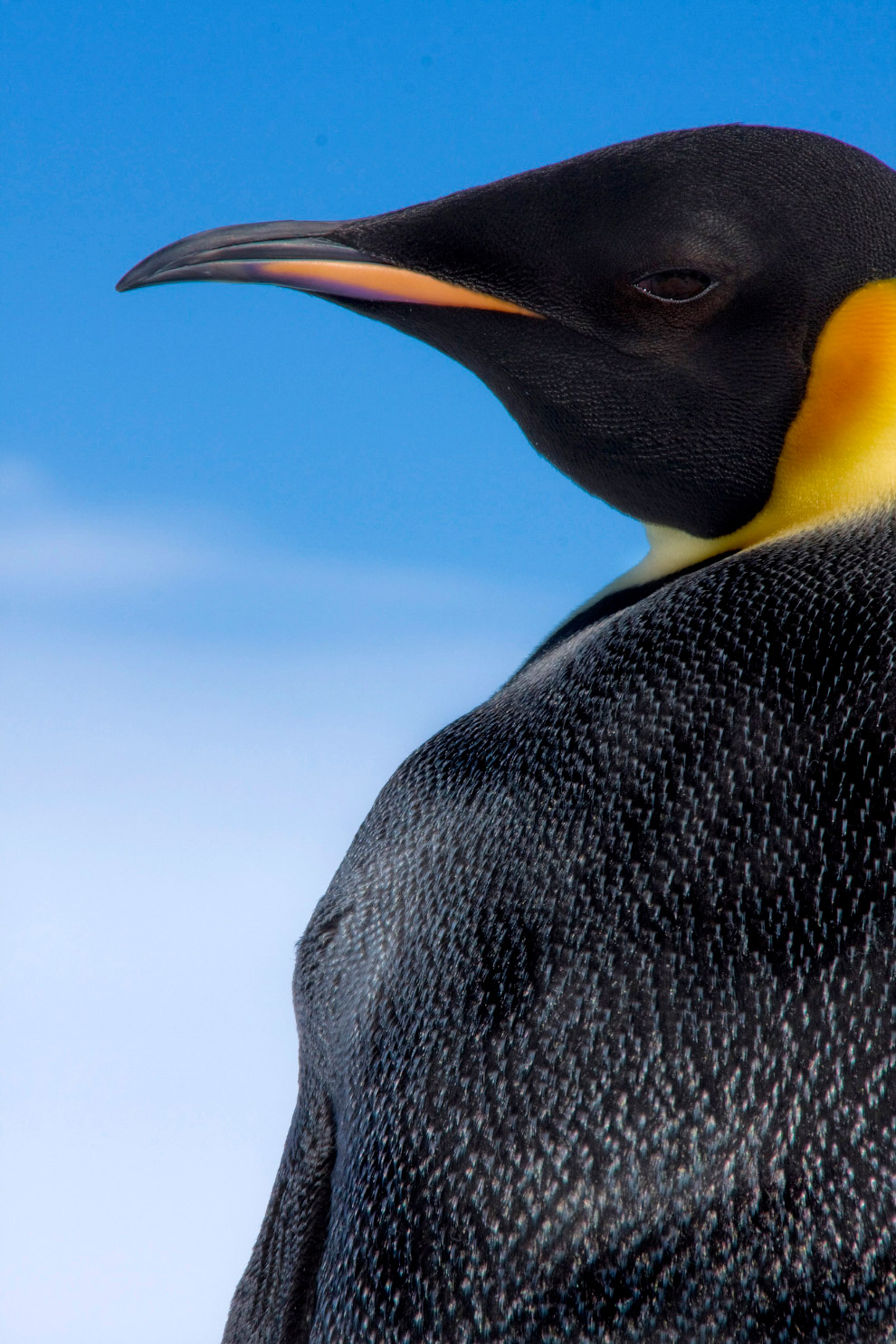 9. Императорский пингвин и техника. (Фото Dafna Ben Nun):