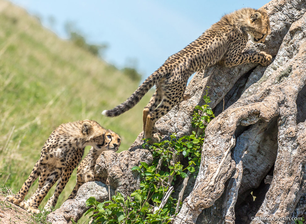 5. В отличие от львов, которые спят до 20 часов в сутки, гепарды постоянно двигаются. Они вынуж