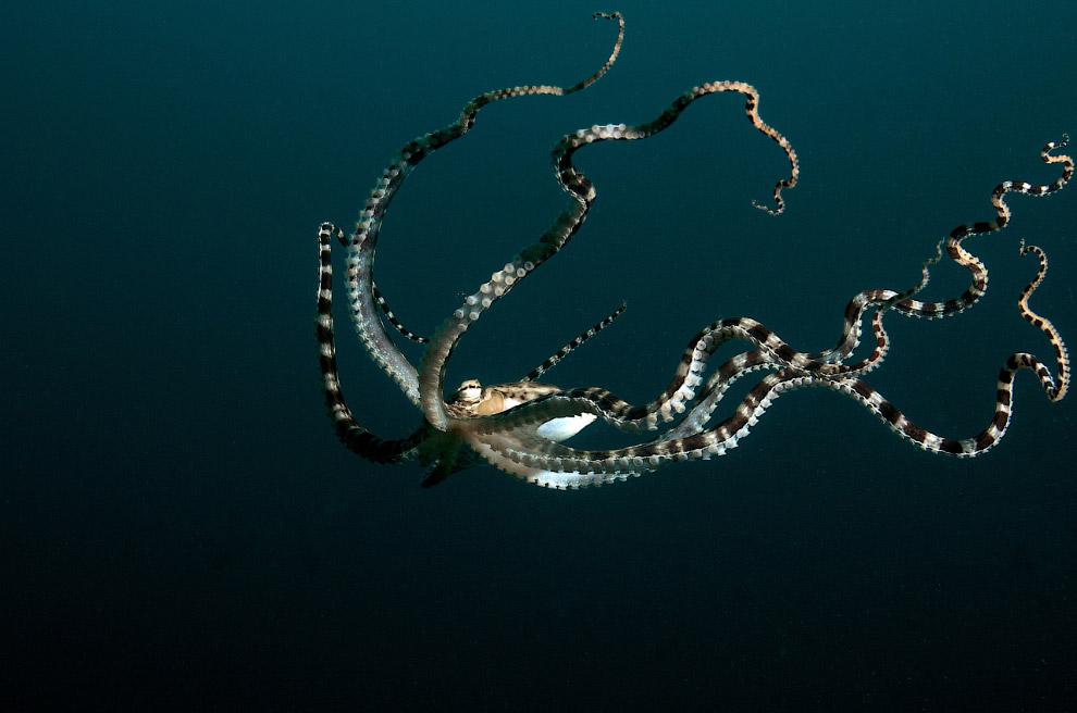Человека осьминог-имитатор воспринимает как крупное и опасное существо и при встрече с дайверам