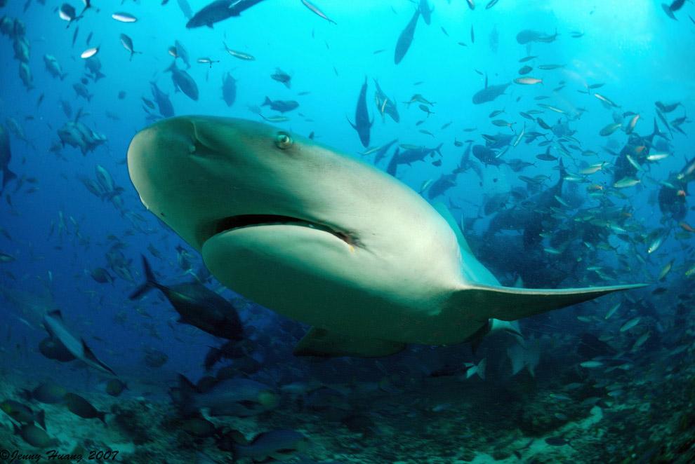 После окончания кормления акулы продолжают кружить вокруг, не предпринимая попыток преследовать