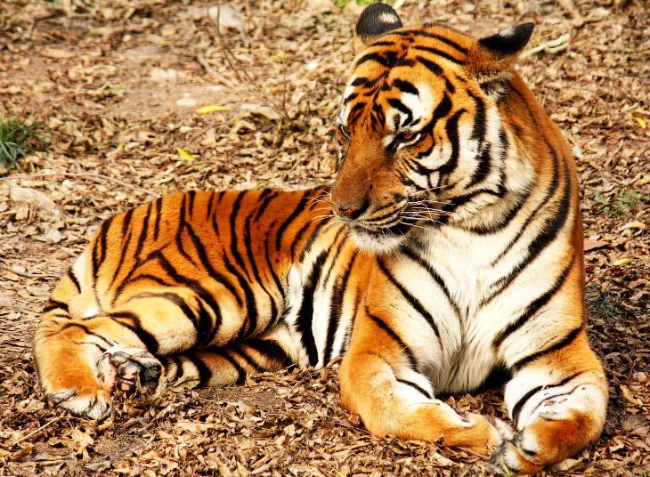 2. Суматранский тигр ( Panthera tigris sumatrae ) — самый маленький подвид. Его вес не превышает 120